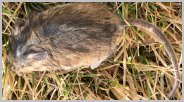 field mouse, field mouse, deer mouse, white-footed mouse, long-tail field mouse, prairie white-footed mouse